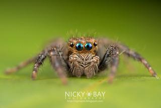 Jumping Spider (Plexippus sp.) - DSC_6319