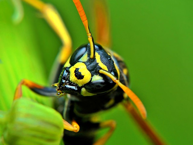 European paper wasp, Macro
