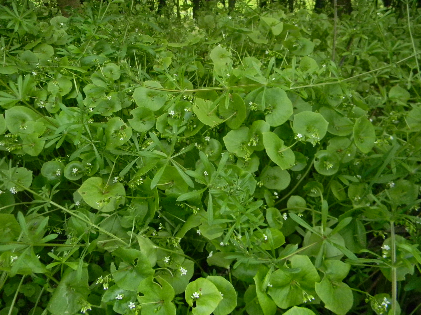 Funny green stuff - spring beauty An american plant growing wild over here. Ive only ever seen it on this walk. Claytonia perfoliata aka miners lettuce. Manningtree Circular.