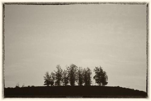 theoc tree trees lineup california ca socal southerncalifornia morning morninglight orangecounty oc outdoor hilltop hill blackandwhite bw monochrome