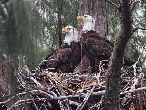 Bald Eagles 0909 more interaction 20161128