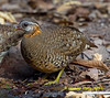Scaly-breasted Partridge,    Aborophila chloropus by Graham Ekins