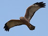 b93 Spotted Harrier [Bowra] 6064 by eric.yanhong