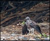 Lesser Fish Eagle - Drying itself after Taking Bath - Endangered by U.day