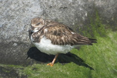 Ruddy Turnstone, Barnegate Light, NJ, March 12, 2012