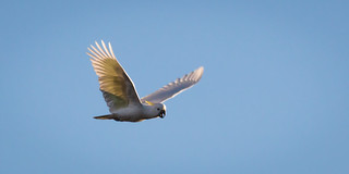 Sulphur-crested Cockatoo: Morning Flight | by James A Collins