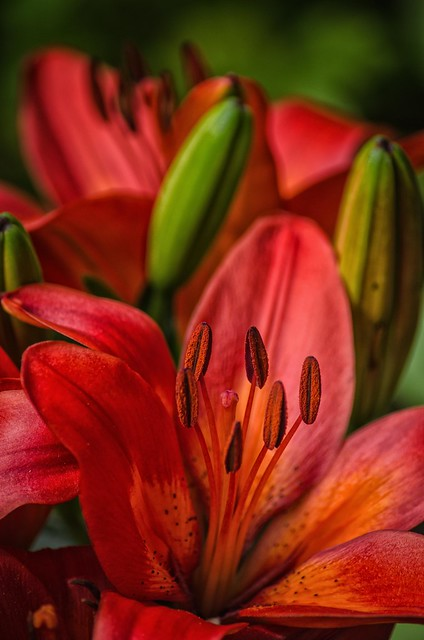 Asian Lily 2