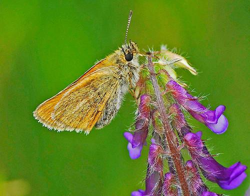 080713 2008 ancyloxypha ancyloxyphanumitor hesperiidae hesperiinae leastskipper mi tncmcmahonlakepreserve butterfly insect skipper