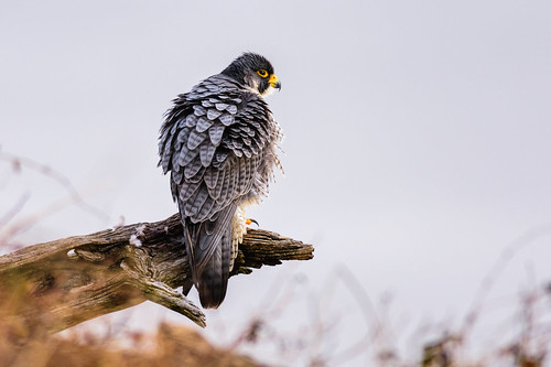 statelinelookout birdofprey nature bird falcoperegrinus peregrinus wildlife perch raptor peregrinefalcon falcon newjersey unitedstates us nikon d7200 color magnificent palisadescliffs