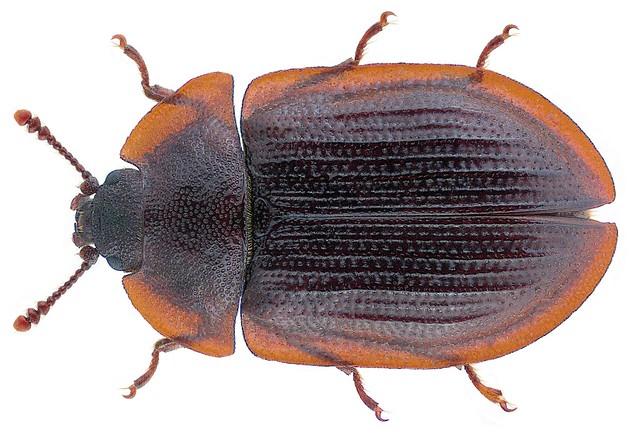 Ostoma ferruginea (Linnaeus 1758)
