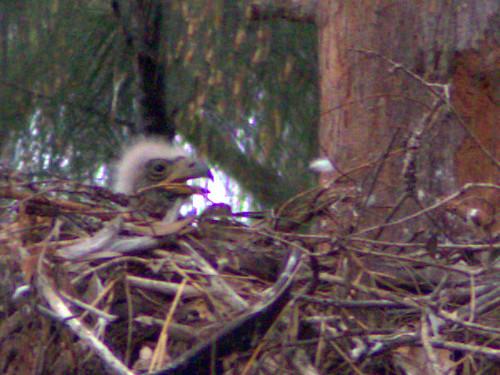 Bald Eaglet -P Piney 17- 2-20170224