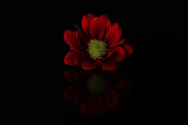 Red little daisy /Margherita rossa