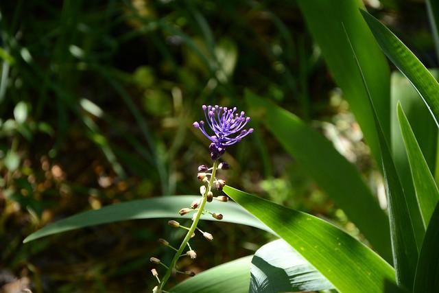 Leopoldia comosa (= Muscari comosum) - ail à toupet 17427022565_1190ed930f_z