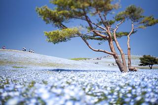 Hitachi Seaside Park 2015 #10 | by kobaken++