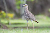Spotted Thick-knee (Burhinus capensis) by Brendon White