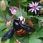 Black and Orange. Xylocopa frontalis, Orange-striped Carpenter Bee, and Crossberry, Grewia occidentalis, Jardín Botánico Prof. Atilio Lombardo, Prado, Montevideo, Uruguay