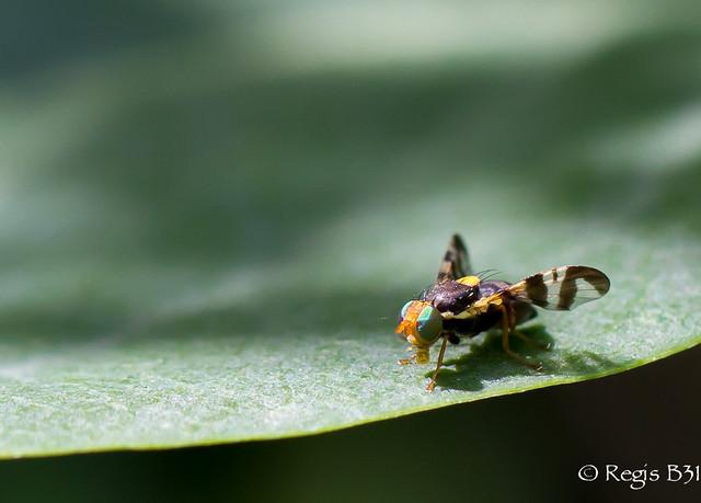 La mouche du céléri