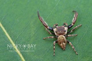 Mangrove Jumper (Ligurra latidens) - DSC_7592