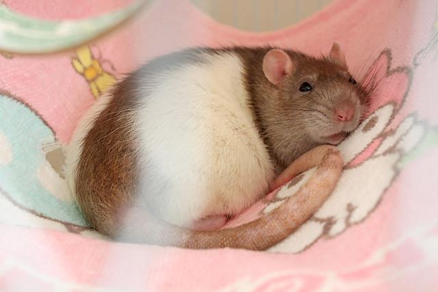 Rosi the Fancy Rat