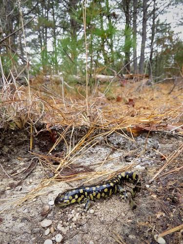 Eastern Tiger Salamander | by Justin Lee (NoNameKey)