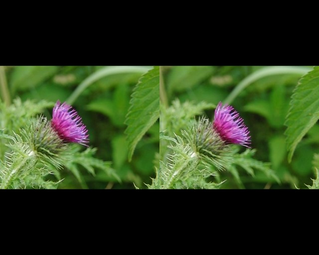 Thistle - stereo 3d movie clip - crossview