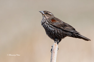 Female Red-winged Blackbird | by Canon Queen Rocks (3,195,000 + views)