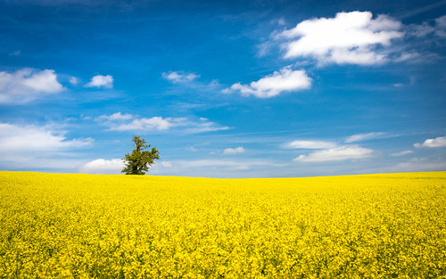 blue summer sky tree field yellow clouds countryside spring rape agriculture hertfordshire
