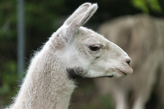 Llama Profiled | by Eric Kilby