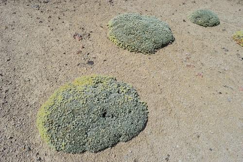 Eriogonum shockleyi var. packardiae 2015.5.27.1 | by geodesert