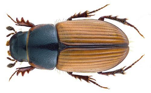 Esymus merdarius (Fabricius, 1775) Syn.: Aphodius (Esymus) merdarius (Fabricius, 1775)   by urjsa