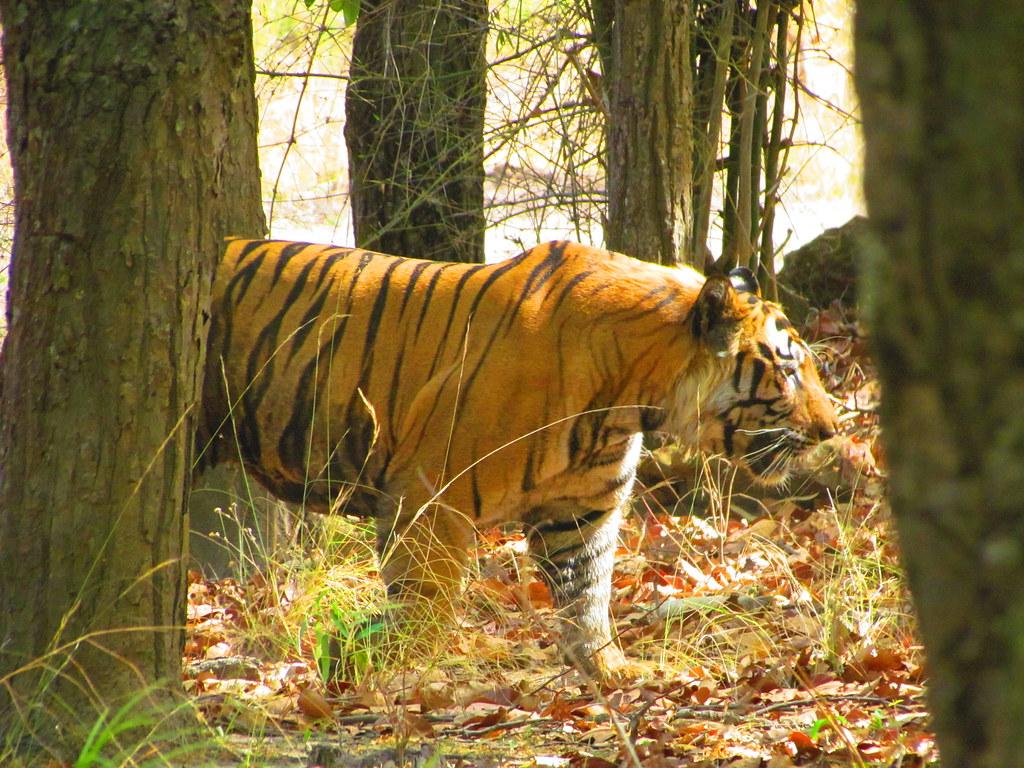 Bandhavgarh National Park - biodiverse park with largest polulation of Bengal Tiger
