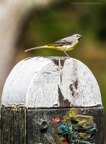 bird canon canal surrey 7d lockgate deepcut surreyheath basingstokecanal greywagtail 100400l motacillacinerea eos7d