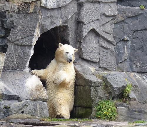 22.9.2013 Tierpark Berlin Eisbär Wolodja 013