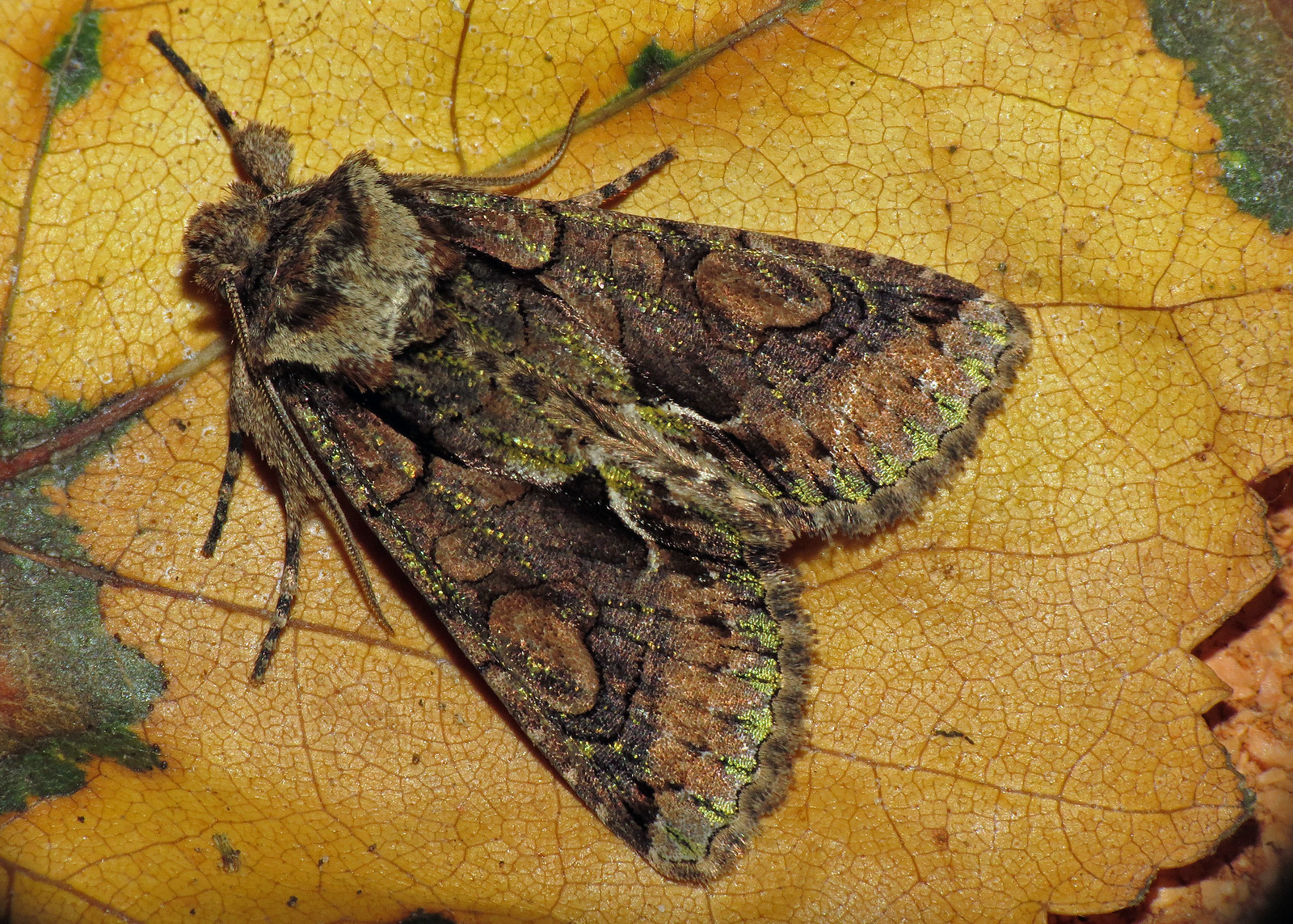 73.068 Green-brindled Crescent - Allophyes oxyacanthae