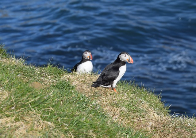 Island Puffin Papageitaucher