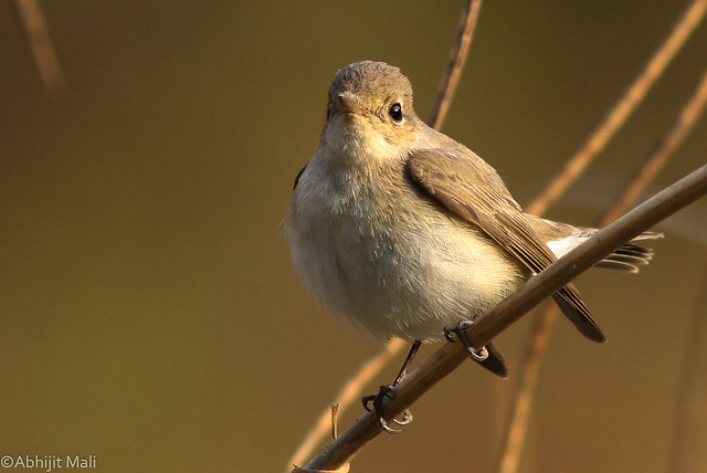 Red Throated Flycatcher (Female)