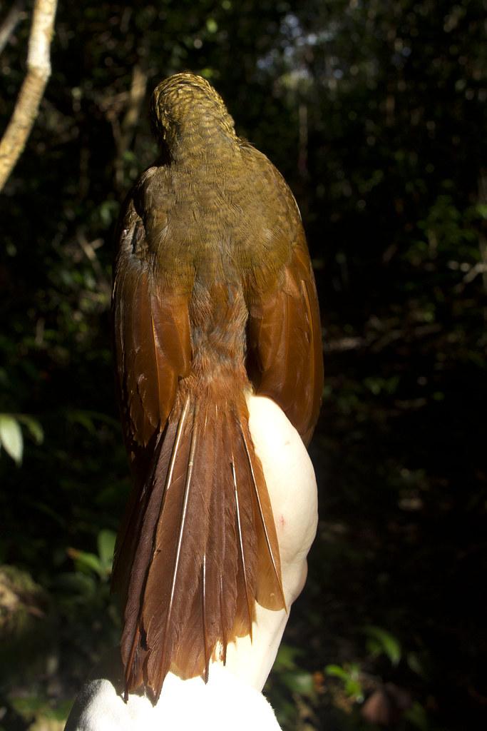 Amazonian Barred-Woodcreeper - Dendrocolaptes certhia