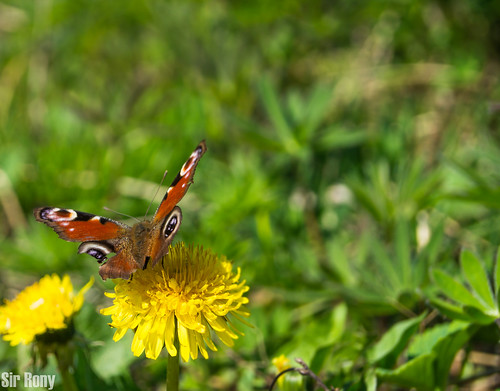 Butterfly | by Sir, Rony