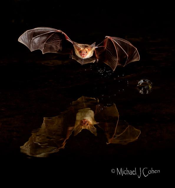 Pallid Bat, Arizona