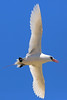 Red-tailed Tropicbird, Nosy Be, Madagascar by Terathopius