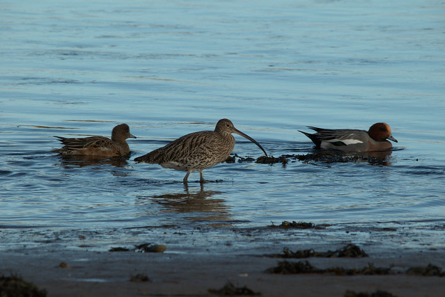 Curlew and friends
