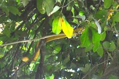 Anaconda pujada a un arbre