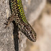 Podarcis muralis - Photo (c) Paul Ritchie,  זכויות יוצרים חלקיות (CC BY-NC-ND)