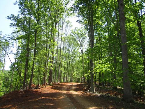 Large oak and poplar retained along ridge road.