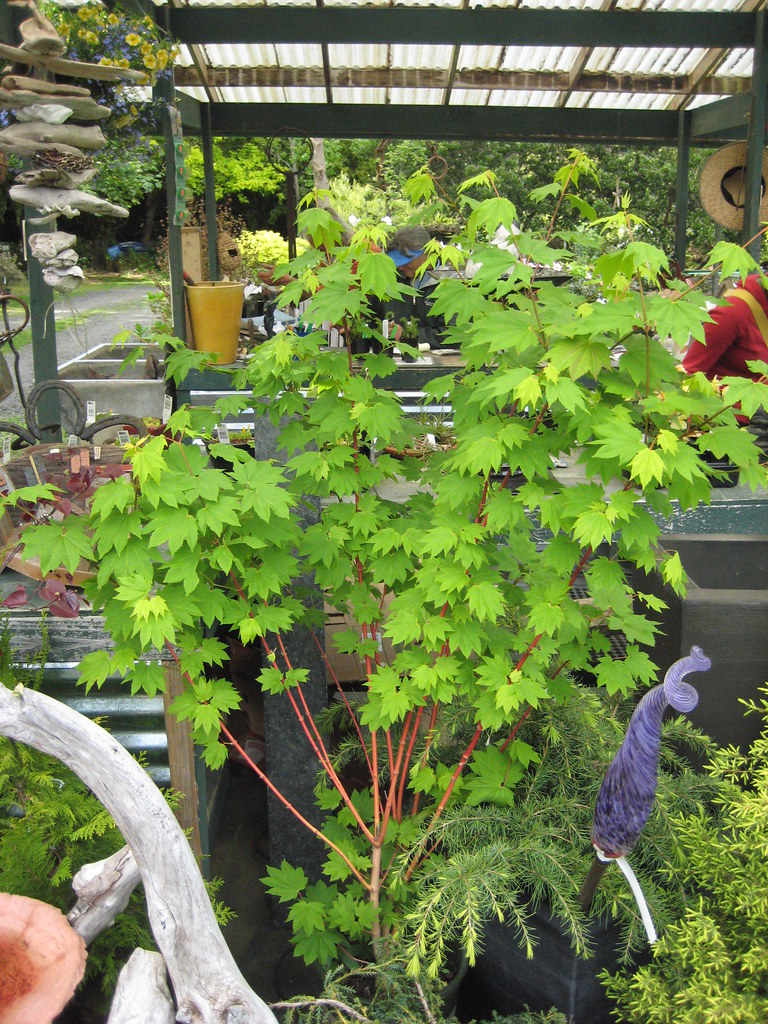 Acer Circinatum Pacific Fire Potted Rhr Horticulture Flickr