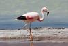 Andean Flamingo (Phoenicoparrus andinus) by Sergey Pisarevskiy