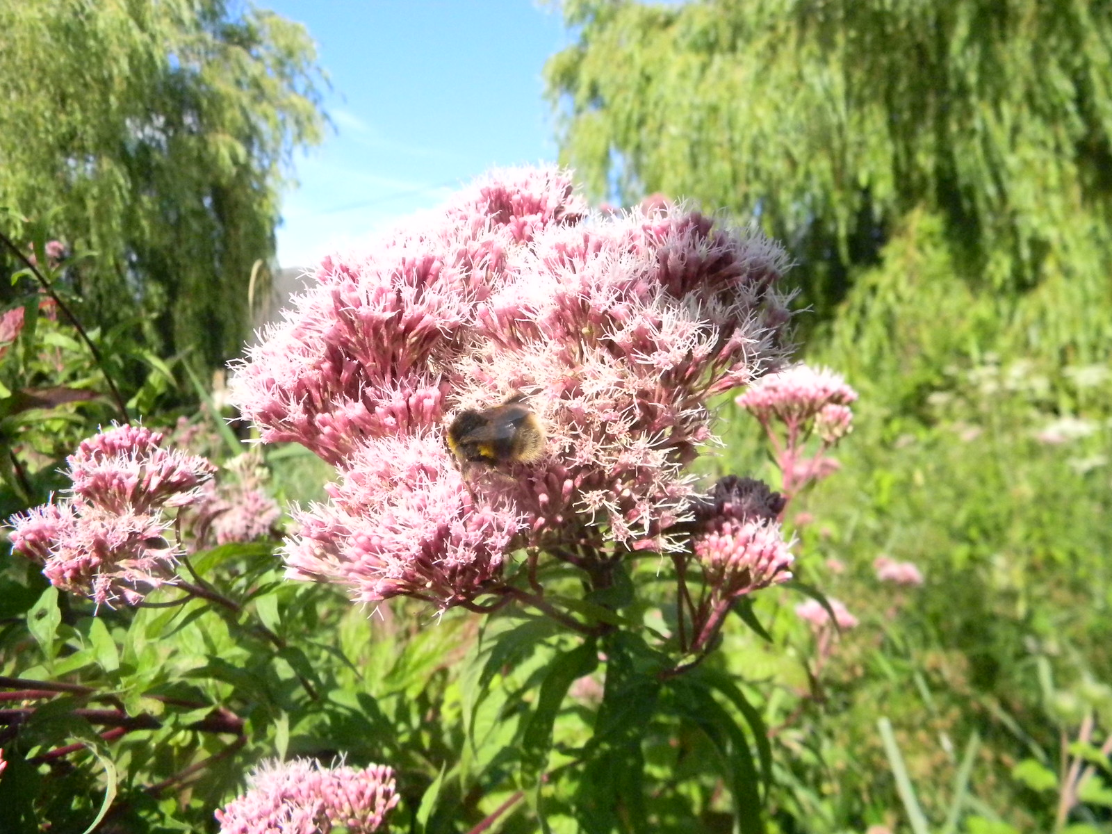 Bee on Hemp Agrimony Southbourne to Chichester