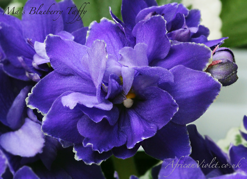Ma's Blueberry Taffy | AfricanViolet co uk | Flickr