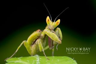 Flower Mantis nymph (Hymenopodidae?) - DSC_3690 | by nickybay