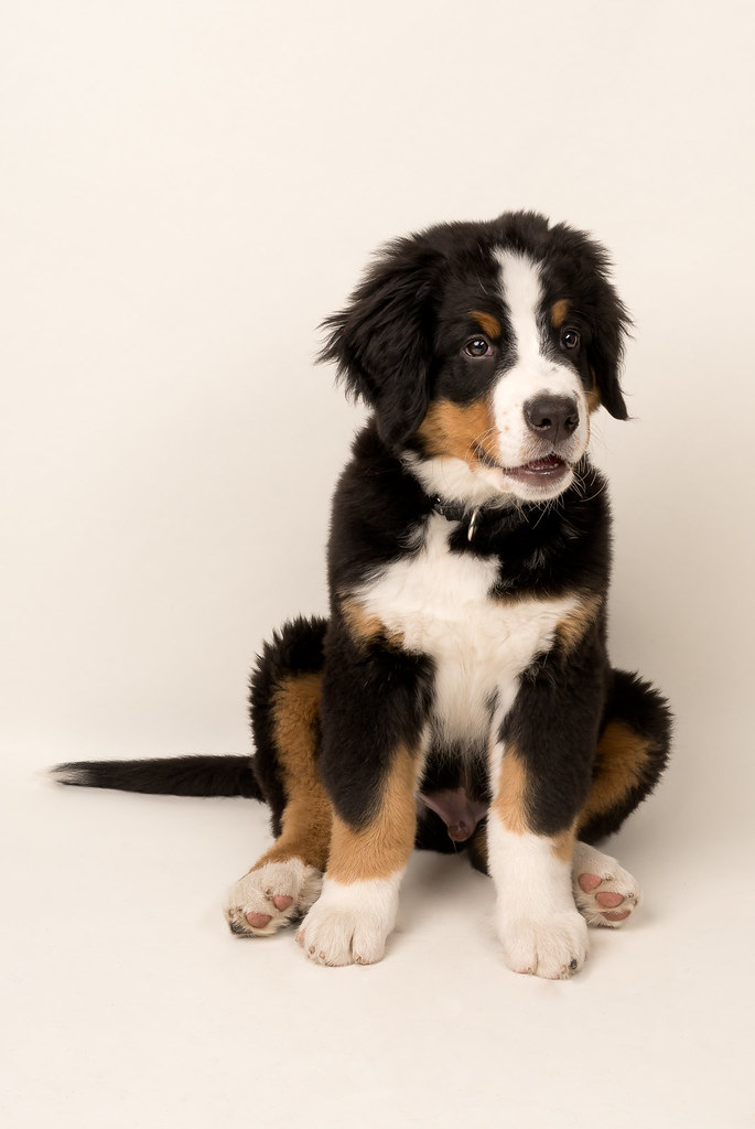 Sitting Pretty Baloo A Bernese Mountain Dog Pup At 12 Week